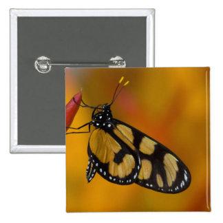 Sammamish, mariposa tropical 33 de Washington Pin Cuadrada 5 Cm