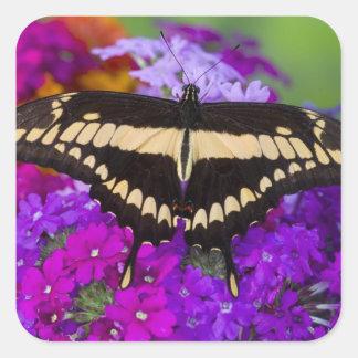 Sammamish, mariposa tropical 36 de Washington Pegatina Cuadrada