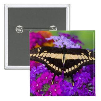 Sammamish, mariposa tropical 36 de Washington Pin Cuadrada 5 Cm