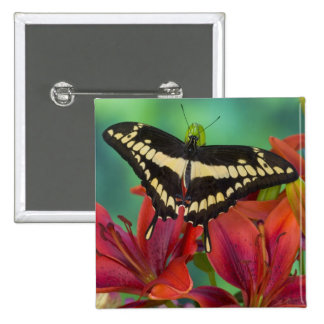 Sammamish, mariposa tropical 37 de Washington Pin Cuadrada 5 Cm