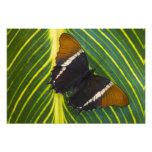 Sammamish, mariposa tropical 39 de Washington Cojinete