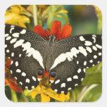 Sammamish, mariposa tropical 39 de Washington Pegatina Cuadrada