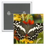 Sammamish, mariposa tropical 39 de Washington Pin Cuadrada 5 Cm
