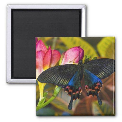 Sammamish, mariposa tropical 40 de Washington Imán Para Frigorifico