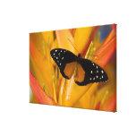 Sammamish, mariposa tropical 40 de Washington Impresiones En Lienzo Estiradas