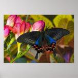 Sammamish, mariposa tropical 40 de Washington Impresiones