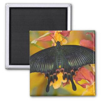 Sammamish, mariposa tropical 42 de Washington Imán Cuadrado