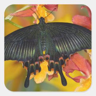 Sammamish, mariposa tropical 42 de Washington Pegatina Cuadrada