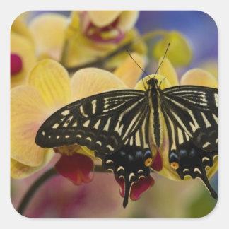 Sammamish, mariposa tropical 44 de Washington Pegatina Cuadrada