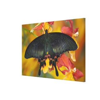 Sammamish, mariposa tropical 4 de Washington Lona Estirada Galerias