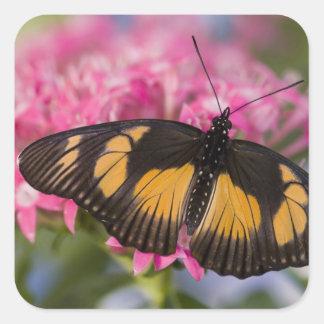 Sammamish, mariposa tropical 4 de Washington Pegatina Cuadrada
