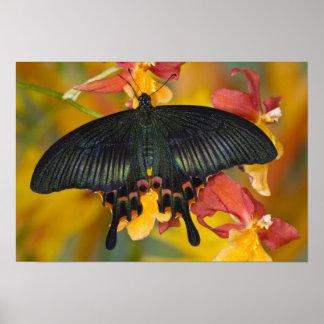 Sammamish, mariposa tropical 4 de Washington Póster