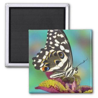 Sammamish, mariposa tropical 5 de Washington Imán Cuadrado