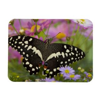 Sammamish, mariposa tropical 8 de Washington Imán De Vinilo