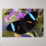 Sammamish, mariposa tropical de Washington Póster