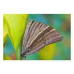 Sammamish, Washington. Mariposas tropicales 12 Cojinete