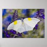 Sammamish, Washington. Mariposas tropicales 13 Posters