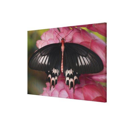 Sammamish, Washington. Mariposas tropicales 14 Lona Estirada Galerías