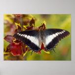 Sammamish, Washington. Mariposas tropicales 16 Poster
