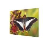 Sammamish, Washington. Mariposas tropicales 20 Lienzo Envuelto Para Galerias
