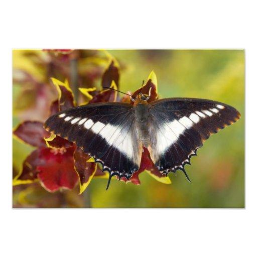 Sammamish, Washington. Mariposas tropicales 20 Impresión Fotográfica