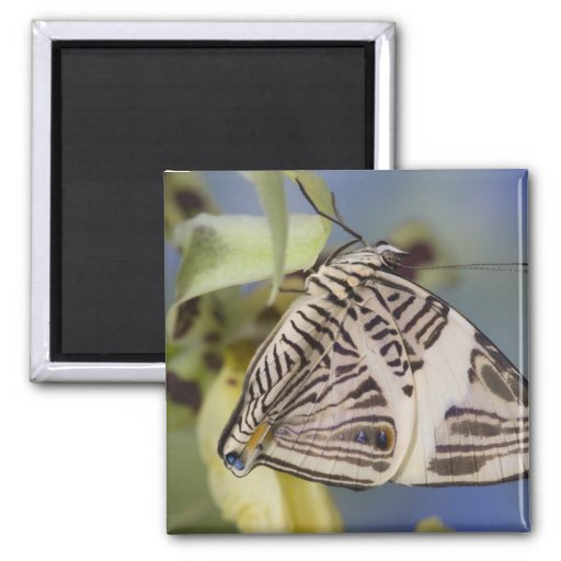 Sammamish, Washington. Mariposas tropicales 21 Imán Cuadrado