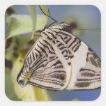 Sammamish, Washington. Mariposas tropicales 21 Pegatina Cuadrada