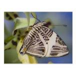 Sammamish, Washington. Mariposas tropicales 21 Tarjetas Postales