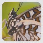 Sammamish, Washington. Mariposas tropicales 23 Pegatina Cuadrada