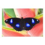 Sammamish, Washington. Mariposas tropicales 24 Cojinete