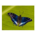 Sammamish, Washington. Mariposas tropicales 24 Postal