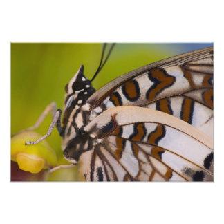 Sammamish, Washington. Mariposas tropicales 27 Cojinete