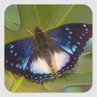 Sammamish, Washington. Mariposas tropicales 28 Pegatina Cuadrada