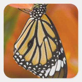 Sammamish, Washington. Mariposas tropicales 2 Pegatina Cuadrada
