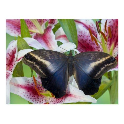 Sammamish, Washington. Mariposas tropicales 36 Tarjetas Postales