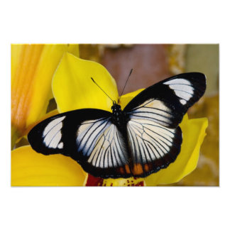 Sammamish, Washington. Mariposas tropicales 37 Foto