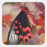 Sammamish, Washington. Mariposas tropicales 3 Pegatina Cuadrada