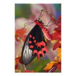 Sammamish, Washington. Mariposas tropicales 3 Impresión Fotográfica