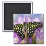 Sammamish, Washington. Mariposas tropicales 44 Imán Cuadrado