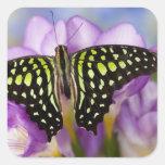 Sammamish, Washington. Mariposas tropicales 44 Pegatina Cuadrada