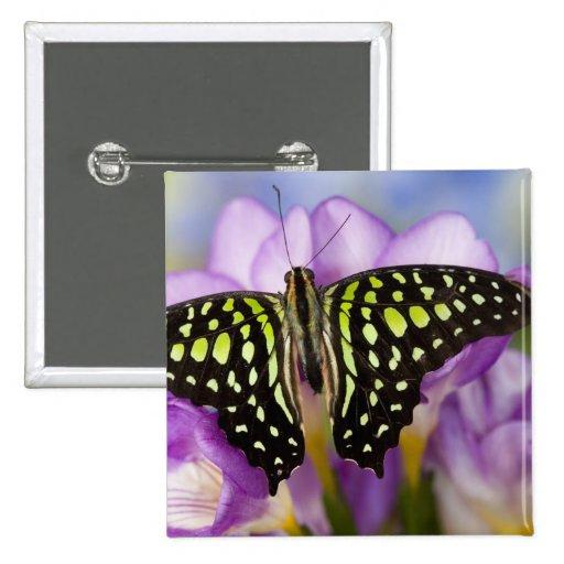 Sammamish, Washington. Mariposas tropicales 44 Pin Cuadrado