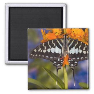 Sammamish, Washington. Mariposas tropicales 50 Imán De Frigorífico