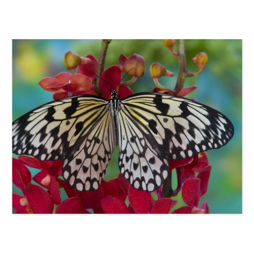 Sammamish, Washington. Mariposas tropicales 63 Tarjetas Postales