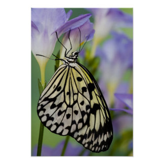 Sammamish, Washington. Mariposas tropicales 6 Impresiones
