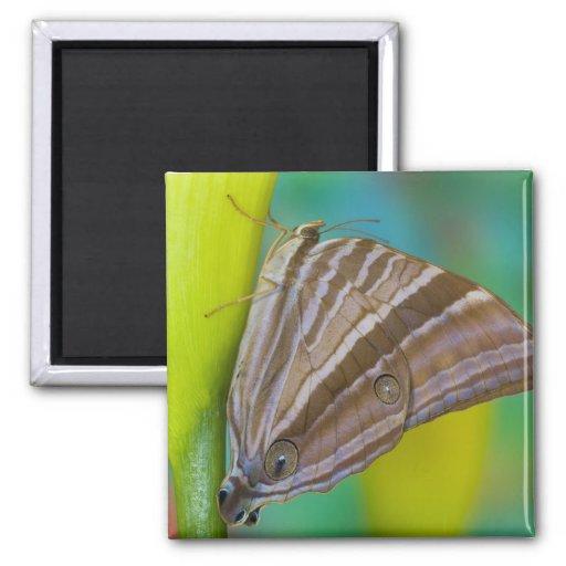 Sammamish, Washington. Mariposas tropicales 8 Imán Para Frigorifico
