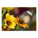 Sammamish, Washington. Mariposas tropicales 8 Cojinete