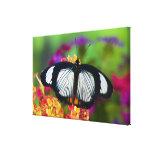 Sammamish, Washington. Mariposas tropicales Impresión En Lona Estirada