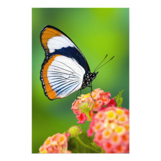 Sammamish, Washington. Mariposas tropicales Fotografias
