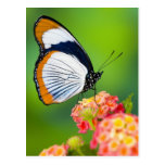 Sammamish, Washington. Mariposas tropicales Postal