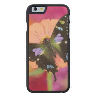 Sammamish Washington Photograph of Butterfly 11 Carved® Maple iPhone 6 Case